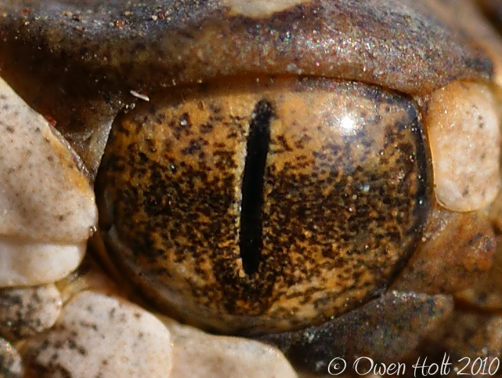 Field Herp Forum • View topic - Nice Eye Shots